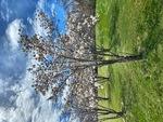 Trees Blossom by Jennifer M. Macaulay